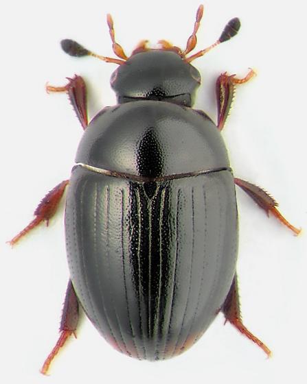 Cercyon ustulatus