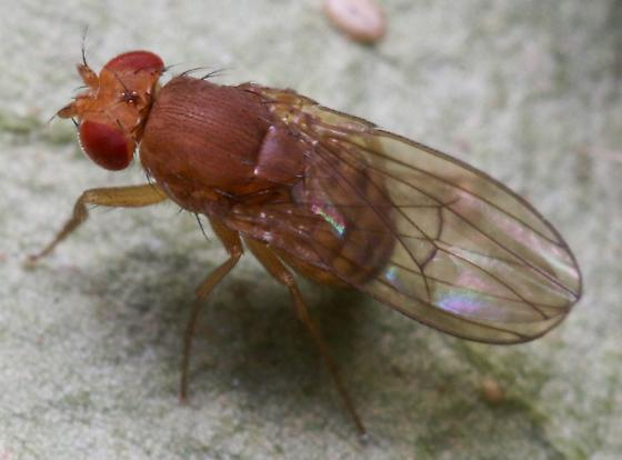 Drosophila? - Drosophila immigrans