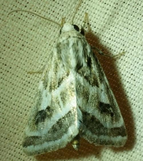 Moth - Schinia accessa