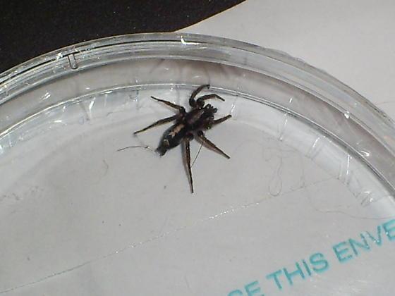 Pennsylvania Spider - Herpyllus ecclesiasticus