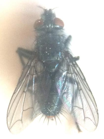 Fly - Ostracophyto flavicaudalis