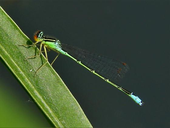Rainbow Bluet - Enallagma antennatum