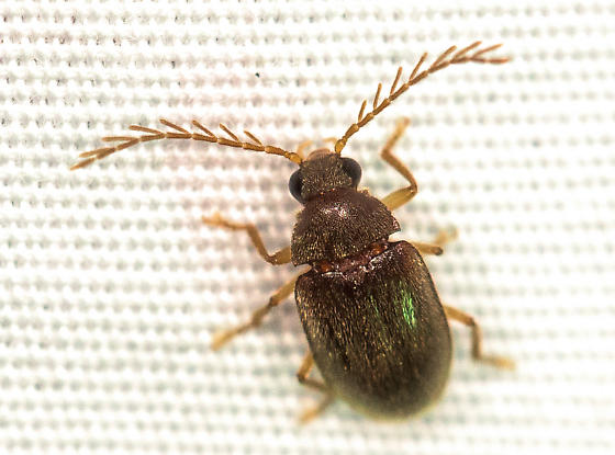 Small Beetle with Large Antennae - Ptilodactyla