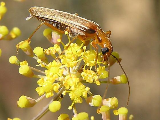 Is this another Ichneumon? - Xanthochroa testacea
