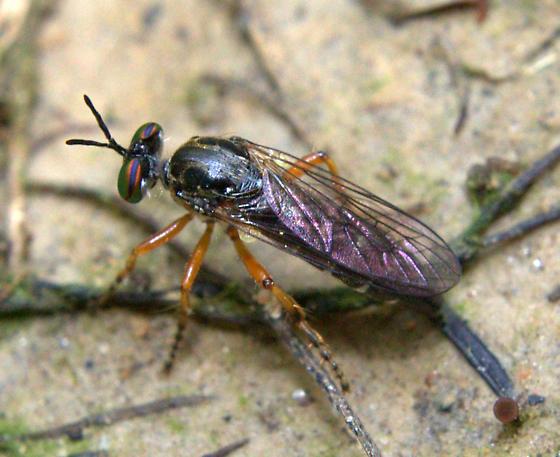 Robber Fly ID Request - Taracticus octopunctatus