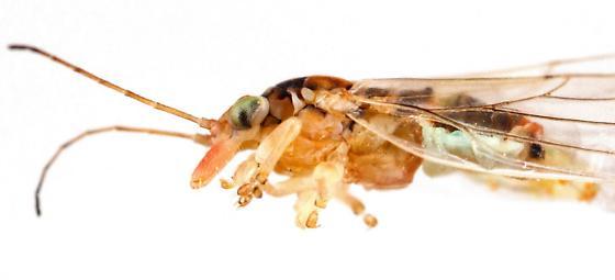 Psylloidea - Glycaspis brimblecombei