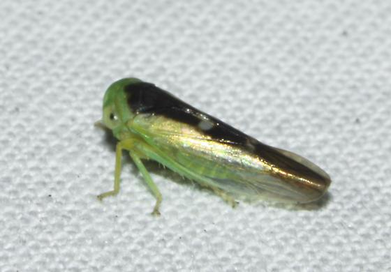 Neocoelidia? - Idiocerus lunaris