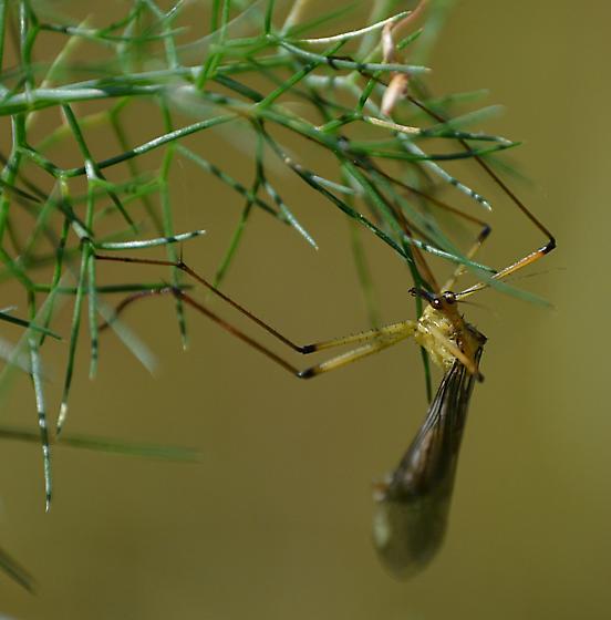 long-legged Sacramento insect - Bittacus