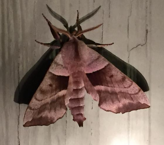 Amorpha juglandis - male
