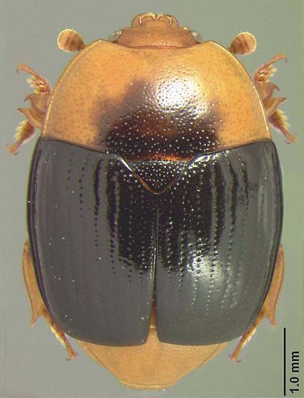 Psilopyga nigripennis LeConte - Psilopyga nigripennis