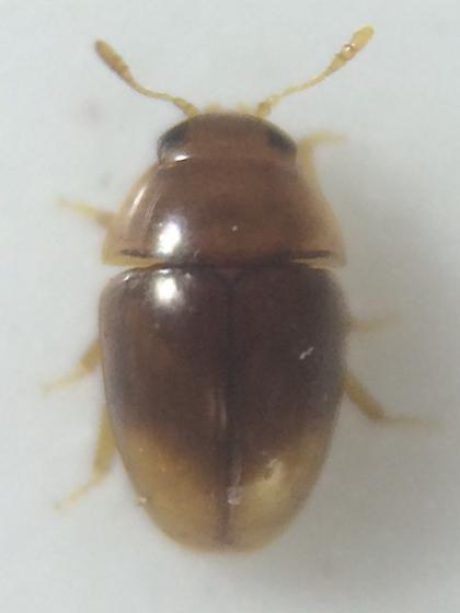 Beetle - Stilbus apicalis