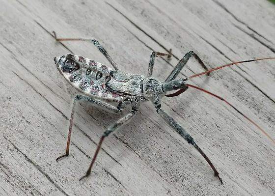 young assassin bug? - Arilus cristatus