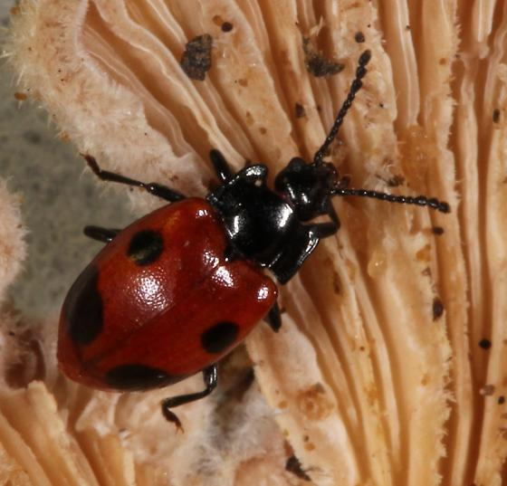 Endomychus biguttatus ? - Endomychus biguttatus