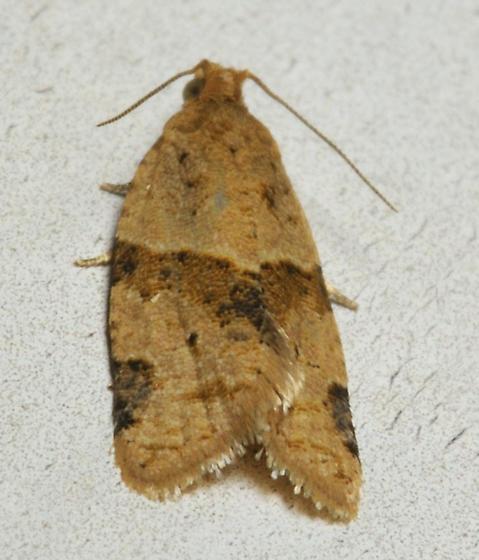Orange moth with black spots - Clepsis peritana
