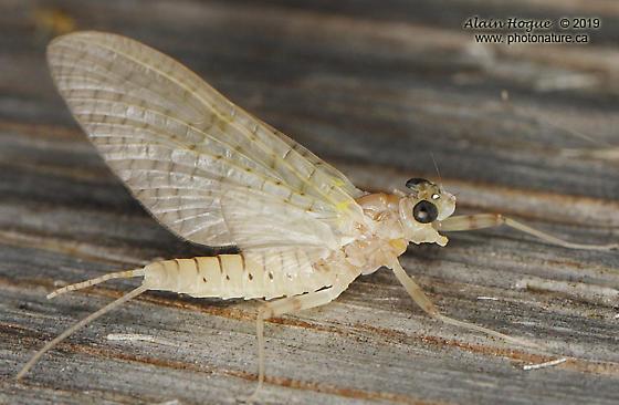 Maccaffertium modestum - female