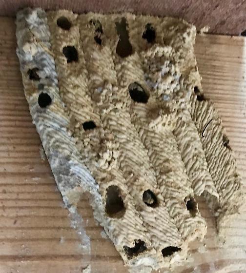 Wasp nest mud tubes - Trypoxylon