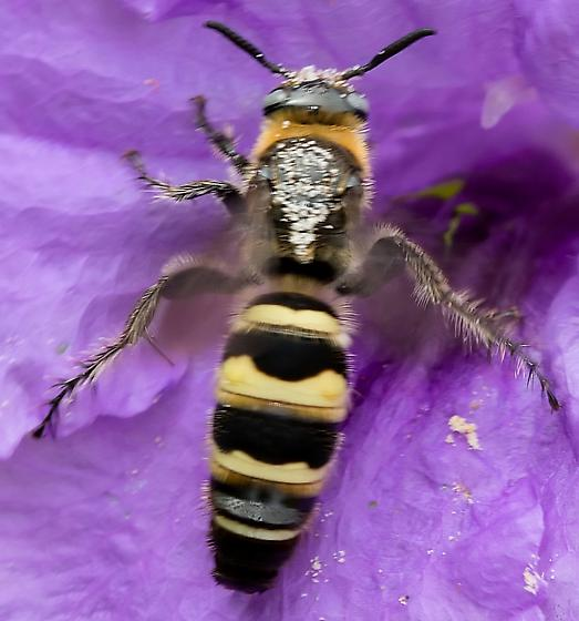Bee or wasp? - Dielis plumipes - female