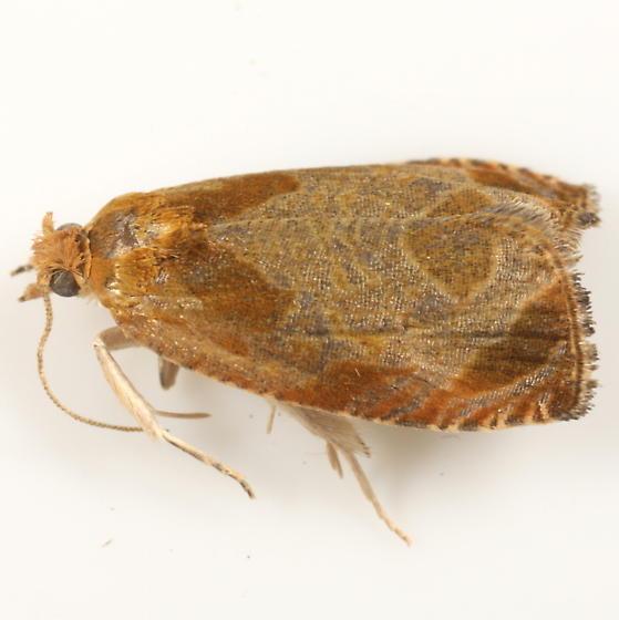 Buckeye tortricid - Olethreutes ochrosuffusanum