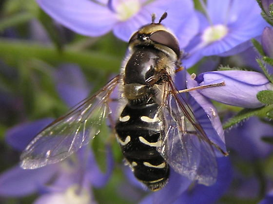 Hover fly to ID - Scaeva pyrastri - female