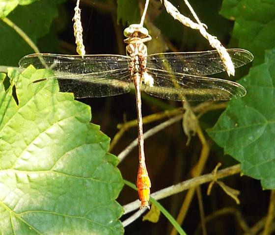 Russet-tipped Clubtail? - Stylurus plagiatus - male
