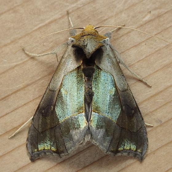 Noctuidae: Diachrysia balluca - Diachrysia balluca
