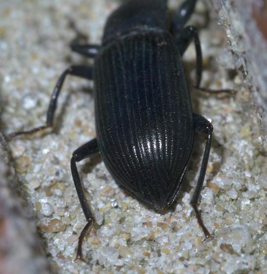 Dark darkling beetle - Xylopinus saperdoides
