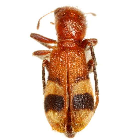 Enoclerus rosmarus (Say) - Enoclerus rosmarus