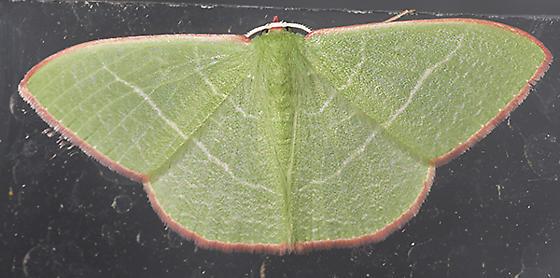 Unknown Moth - Nemoria leptalea - male