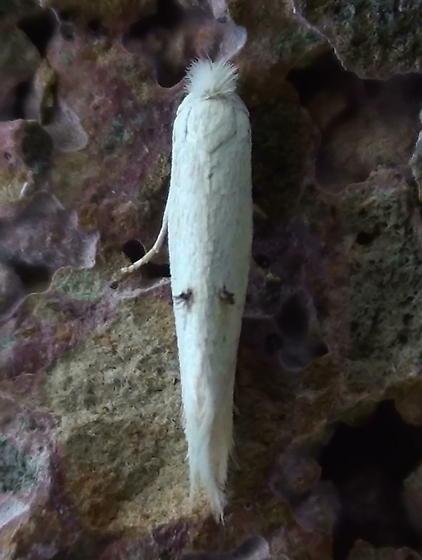 Bucculatricidae: Bucculatrix salutatoria? - Bucculatrix
