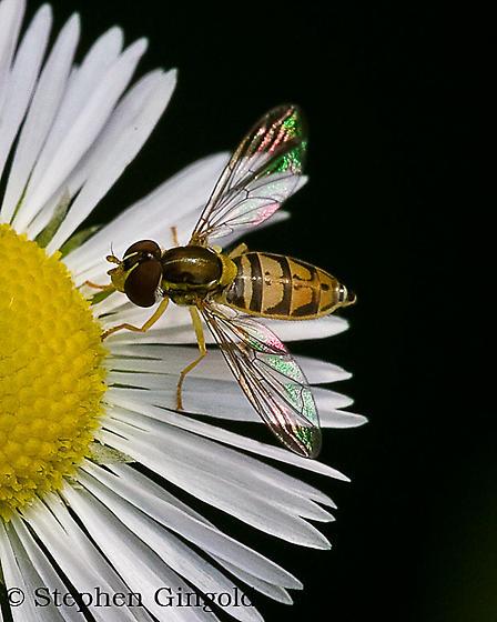 Toxomerus marginatus- Syrphid fly - Toxomerus marginatus