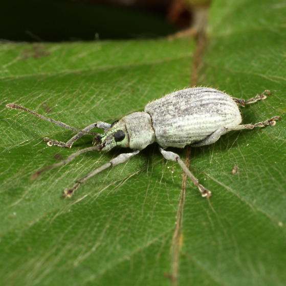 Green-headed weevil - Cyrtepistomus castaneus