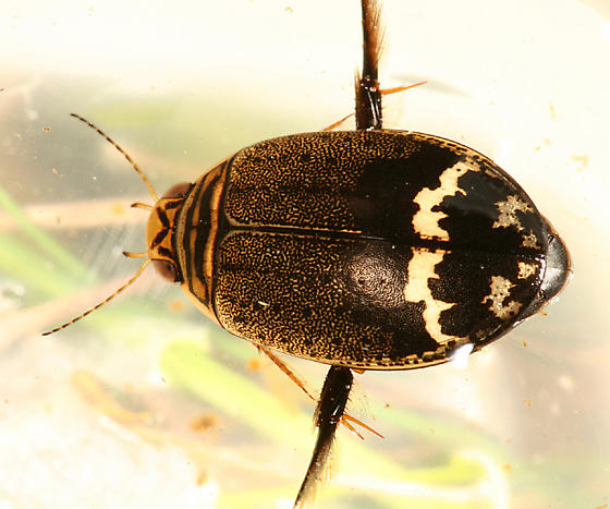 Predacious Diving Beetle - Acilius mediatus