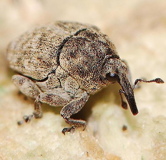 chubby weevil - Acanthoscelidius acephalus