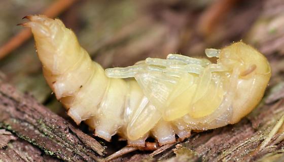 darkling beetle pupa - Centronopus calcaratus