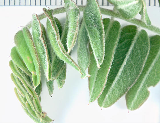 Cecidomyiidae, Lead plant individual leaf wrap