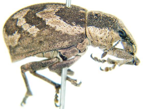 Unknown Weevil - Epicaerus imbricatus