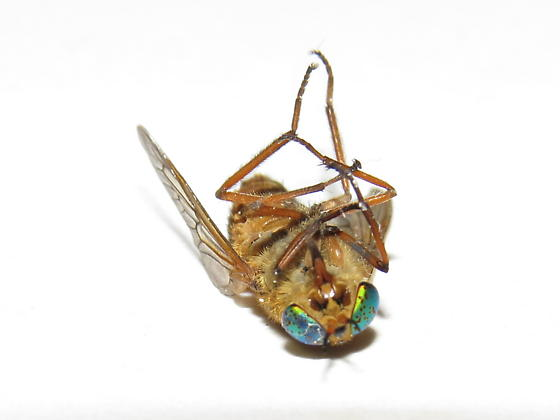 Deer fly (Silvius gigantulus) ? - Silvius gigantulus