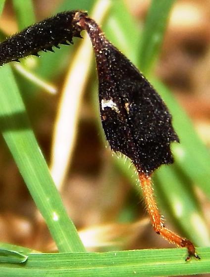Leptoglossus zonatus? - Leptoglossus zonatus