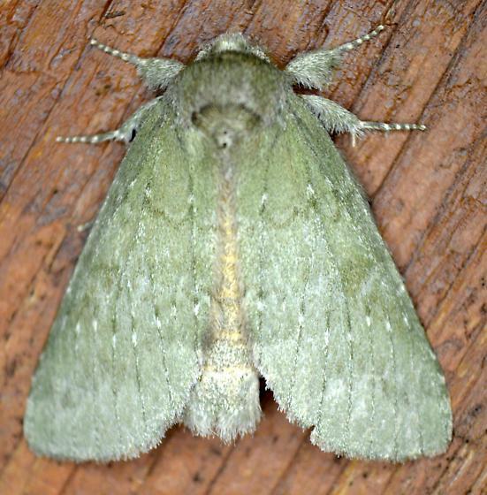 Prominent Moth - Misogada unicolor - male