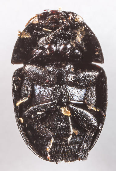 Beetle - Phalacrus