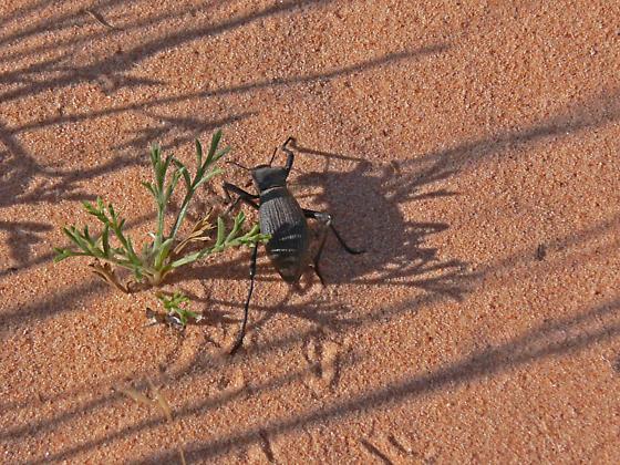 Desert Beetle - Philolithus