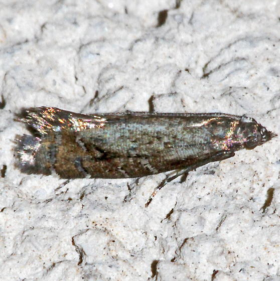 Unknown Micromoth - Drymoana blanchardi
