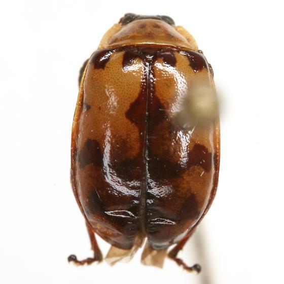 Kuschelina jacobiana (Horn) - Alagoasa jacobiana