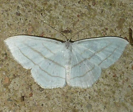 unknown AR moth #4 - Scopula ordinata
