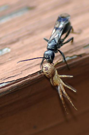Wasp - Dipogon sayi