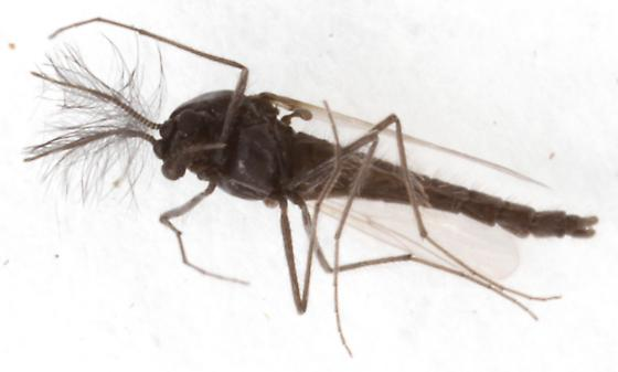 tiny gnat-like fly - male
