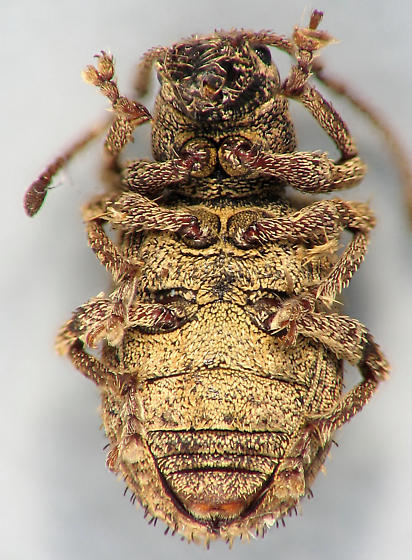 weevil night - weevil #7 - Pseudoedophrys hilleri