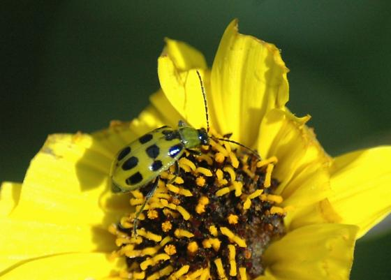 Spotted cucumber beetle for California in March - Diabrotica undecimpunctata