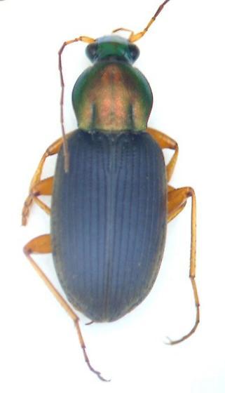 Chlaenius tricolor - male