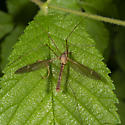 Tipula sp. ? - Tipula - male